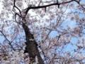 [ポメ][お花見]