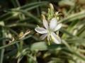 [オリヅルラン][花]