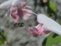 [シママメヒラタアブ][サルビア][コクシネア][コーラルニンフ]