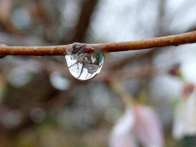 [四季桜][水滴]