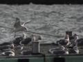 [ユリカモメ][セグロカモメ]