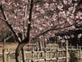 [河津桜][メジロ]