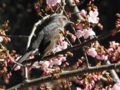 [河津桜][ヒヨドリ]