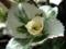 [斑入り額紫陽花][白い葉]