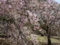 [しだれ桜][幸田文化広場]