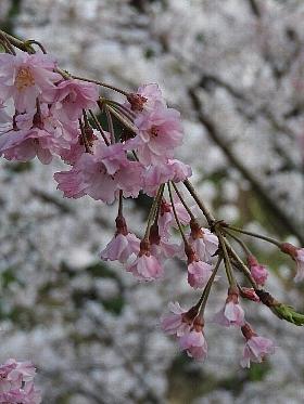 [しだれ桜まつり][幸田町]