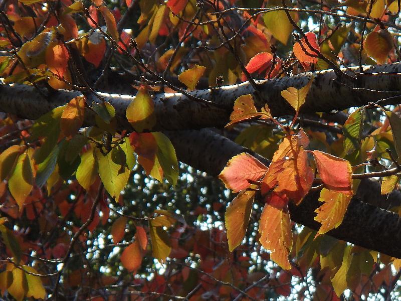 [山桜][紅葉]