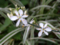 [外斑オリヅルラン][花]