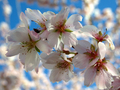 [四季桜][豊田]