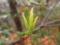 ミツバツツジの新芽