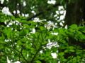 アメリカヤマボウシ