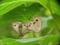 ヒメウラナミジャノメの交尾