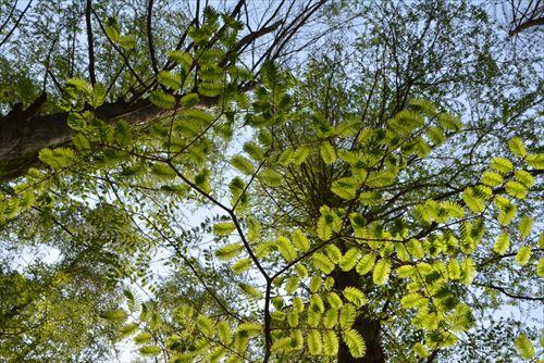 新緑の枝:20170422:私市植物園、メタセコイア