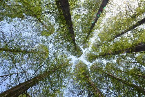 大空へ:20170422:私市植物園、メタセコイア