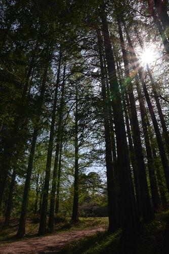 春の日差し:20170422:私市植物園、メタセコイア