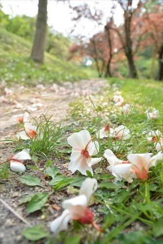 シナアブラギリの落花:20170501153851:私市植物園