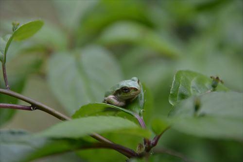 蛙、カエル:20170505:私市植物園
