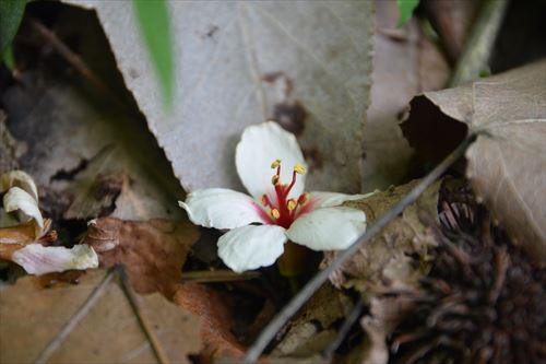 f:アブラギリの落葉あ:20170609101826:私市植物園