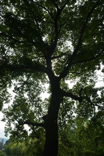 クヌギの木:20170716082304j:私市植物園