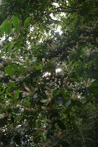 リョウブの花:20170723161843