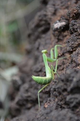 ハラビロカマキリの幼虫:20170810104632:私市植物園