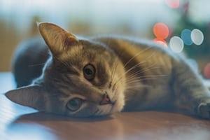 猫が絶対に食べてはいけない食べ物7選!誤食後の対処法や対策について