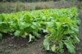 農園 野沢菜