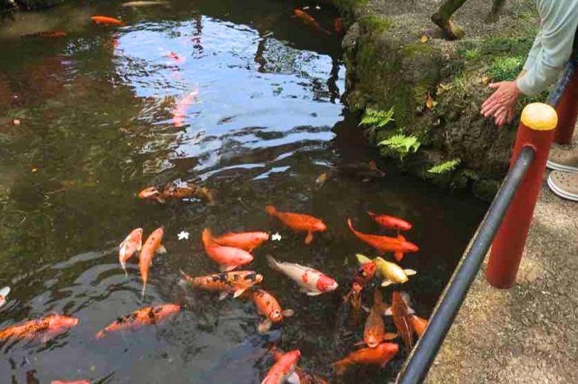 平等院テンプルの鯉
