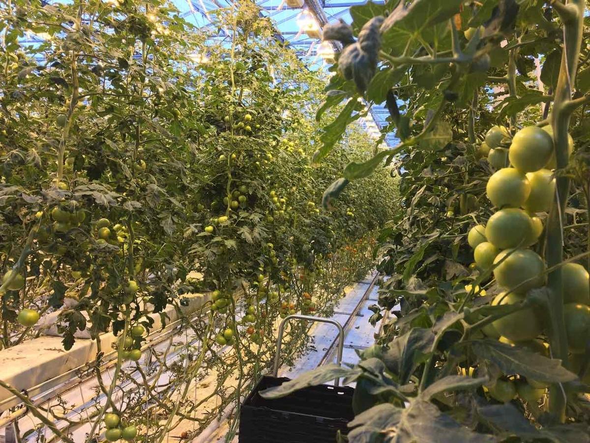 フリィズへイマル農園 トマト