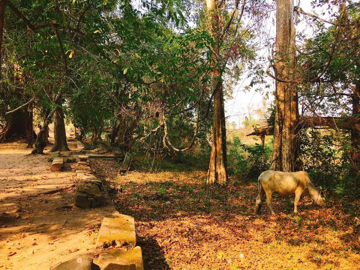 カンボジア 水牛