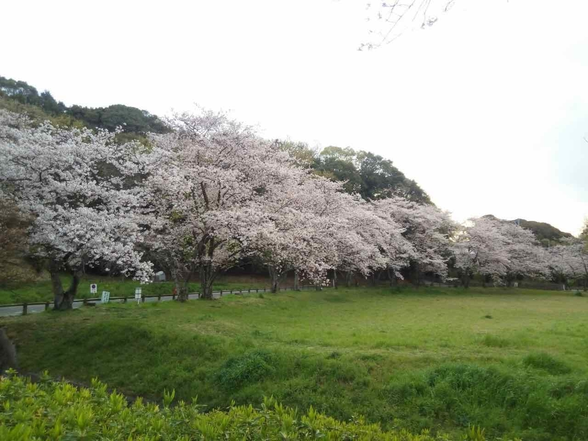坂本八幡神社 桜