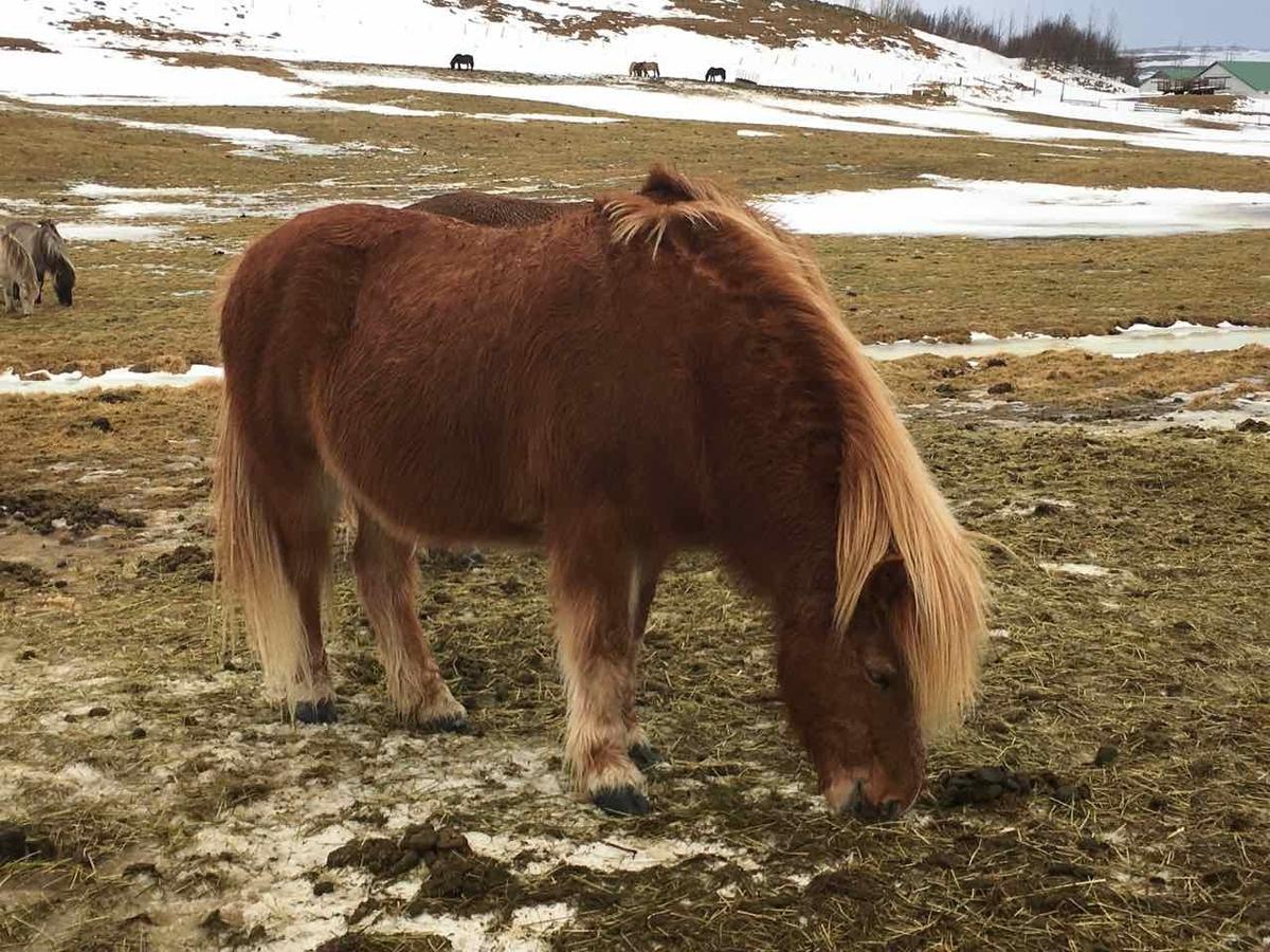 アイスランド 馬