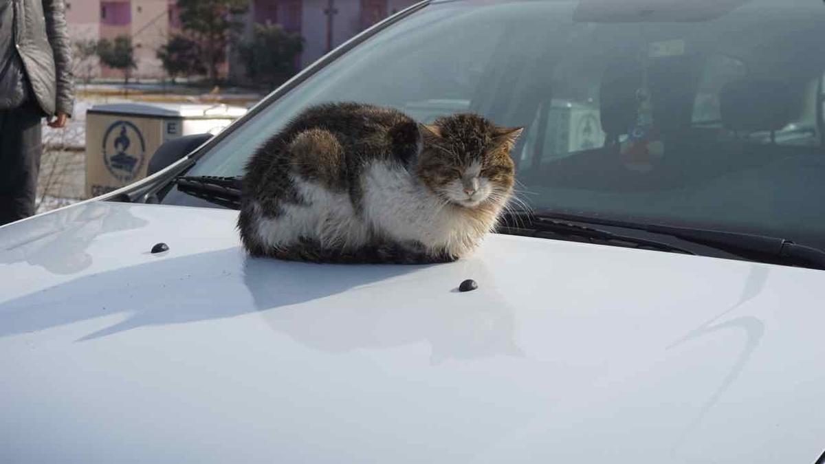トルコ パムッカレ 猫