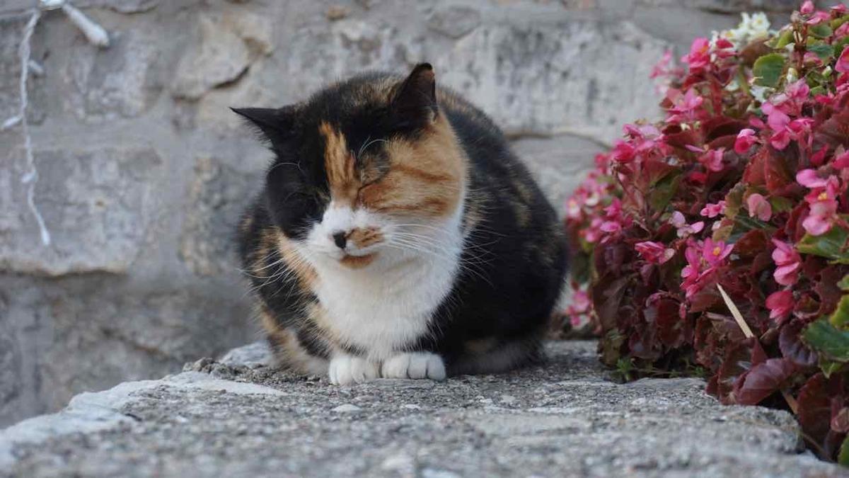 クロアチア 猫