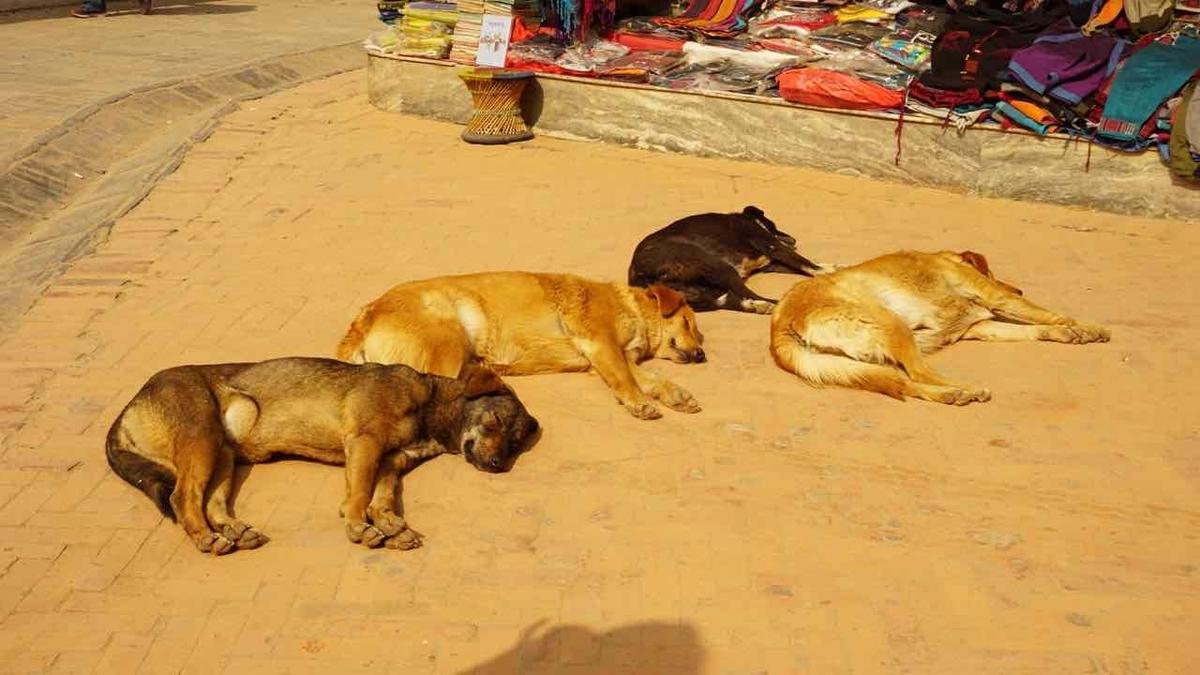 ネパール 犬