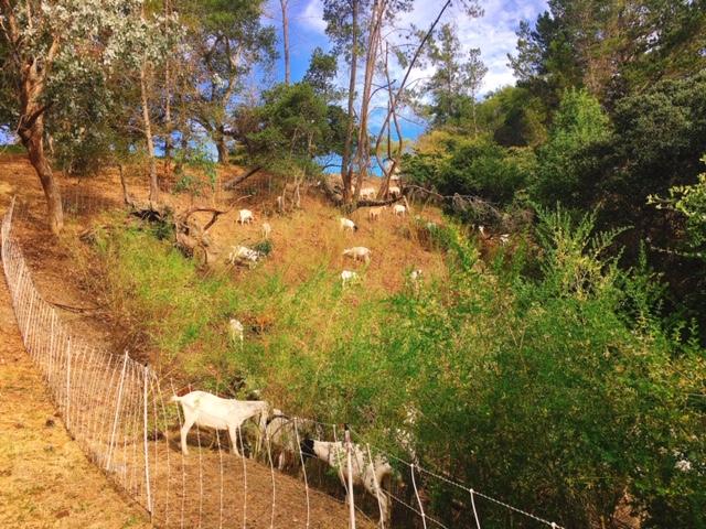 ヤギ 草刈り