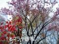 ヒマラヤ緋桜