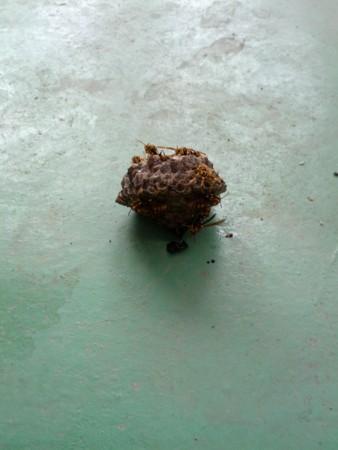 アシナガバチの巣がベランダに