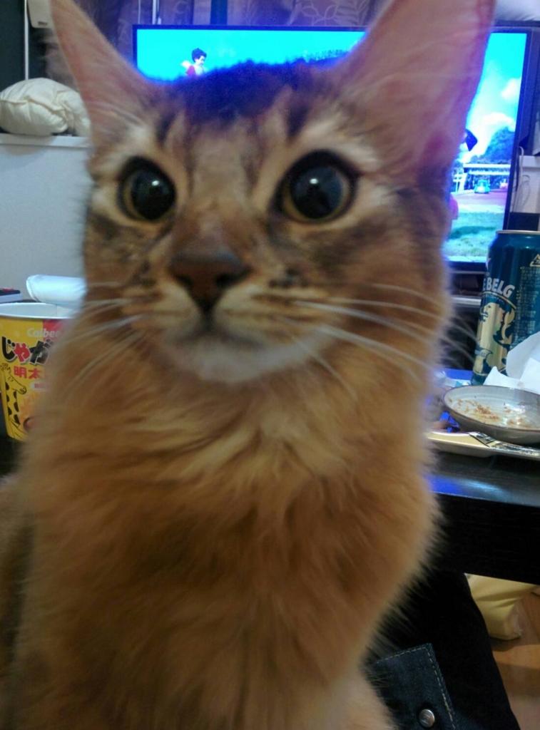 膝の上に乗る猫ソマリ