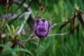 [170606紫チューリップ]