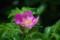 [180807ハマナスの花]
