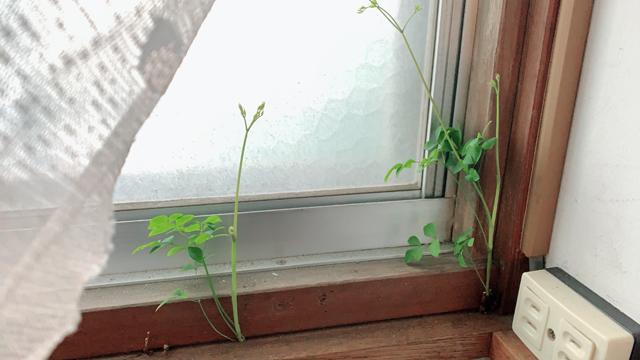 トイレの窓から生えてきた謎の草
