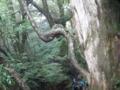 右手の太い幹が杉で、曲がってるのは山車、という、杉に巻き付いて、