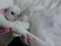 [猫][オッドアイ]福ちょん。きゅーとゴロン