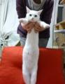 [猫][オッドアイ]福ちょん。赤ソファ2才