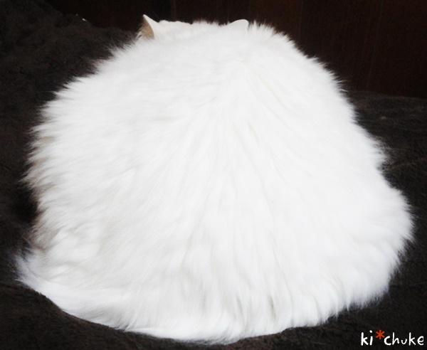 白猫きーちゅけの鏡餅(?)