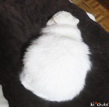 白猫きーちゅけの鏡餅(しぼむ?)