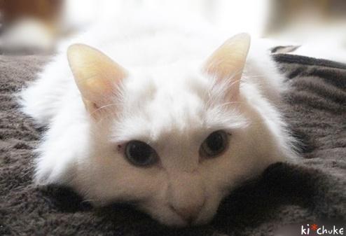 白猫きーちゅけ、ご機嫌ななめ