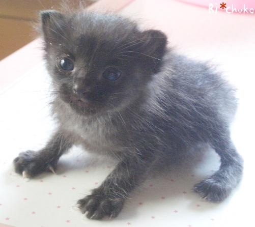 黒猫りちゅこ、生後1か月足らず