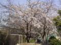 自宅近辺の桜